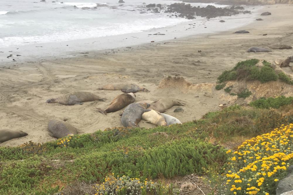 Elephant Seal Rookery, habíamos estado en Península de Valdés pero aquí casi los tocas con la mano.